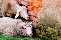 sheeps śpiący fotografia stock
