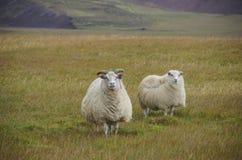 Sheeps κάτω από το ισχυρό άνεμο Στοκ φωτογραφίες με δικαίωμα ελεύθερης χρήσης