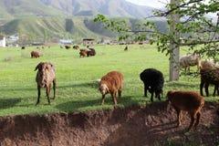 Sheeps και κριοί Στοκ εικόνες με δικαίωμα ελεύθερης χρήσης