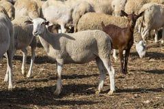 Sheeps και μια αίγα στοκ εικόνες