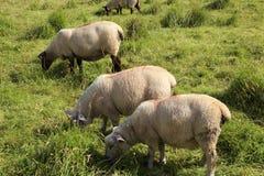 Sheeps κοντά Antrim στην ακτή Στοκ Εικόνες