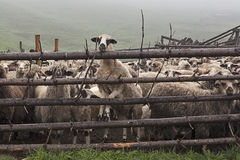 Sheeps πίσω από το φράκτη 1 Στοκ Φωτογραφία