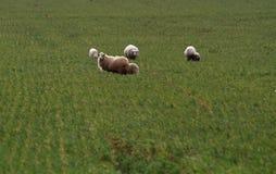 Sheeps που περπατά σε έναν πράσινο τομέα Στοκ φωτογραφία με δικαίωμα ελεύθερης χρήσης