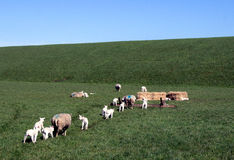 Sheeps που περπατά στη φάτνη Στοκ φωτογραφίες με δικαίωμα ελεύθερης χρήσης