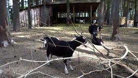 Sheeps που τρώει στο αγρόκτημα φιλμ μικρού μήκους