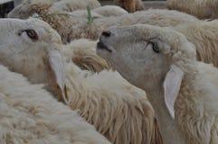 Sheeps που τρώει greass στοκ εικόνες