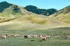 Sheeps σε ένα λιβάδι βουνών, κορυφογραμμή Ketmen, Καζακστάν Στοκ φωτογραφία με δικαίωμα ελεύθερης χρήσης