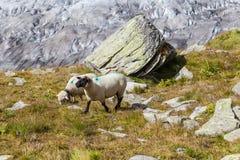 Sheeps στα όρη επάνω από τον παγετώνα Aletsch Στοκ φωτογραφία με δικαίωμα ελεύθερης χρήσης