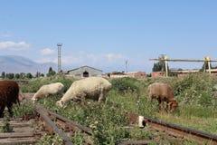 Sheeps στις παλαιές διαδρομές τραίνων Στοκ φωτογραφία με δικαίωμα ελεύθερης χρήσης