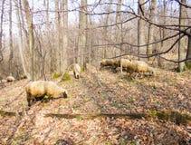 Sheeps στο δάσος Στοκ Φωτογραφία