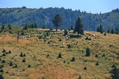 Sheeps στο λιβάδι βουνών Στοκ Εικόνες