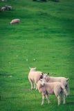 Sheeps στο πράσινο λιβάδι στη λίμνη περιοχής Στοκ Εικόνα