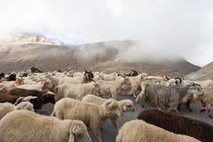 sheeps козочек Стоковые Изображения