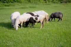 sheeps лужка Стоковая Фотография
