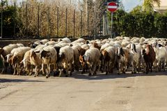 Sheeps на дороге Стоковое Изображение RF