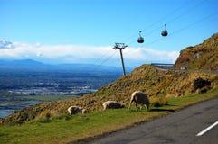 Sheeps около дороги Стоковое Изображение RF