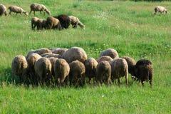 sheeps табуна Стоковое Изображение RF