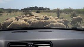 Sheeps arkivbild