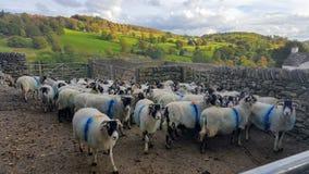 Sheeps Arkivfoto