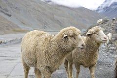 Sheeps Stockbilder
