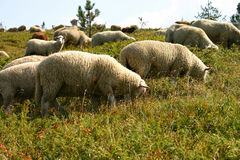 Sheeps. Couple of sheeps in autumn green and yellow fields stock photo