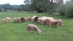 Sheeps Στοκ Φωτογραφίες