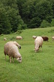 sheeps obraz royalty free