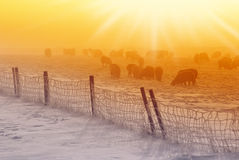 Sheeps. In icy cold snow with nice sunset stock photos