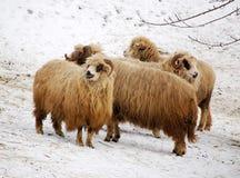 组sheeps 库存照片