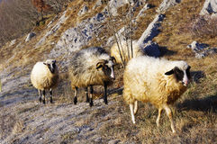 Sheeps Fotos de Stock Royalty Free