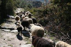 sheeps Στοκ Εικόνα