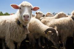 Sheeps Image libre de droits