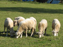 Sheeps Immagine Stock