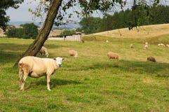 Sheeps Lizenzfreie Stockfotografie