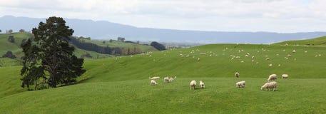 Sheeps Fotografie Stock Libere da Diritti