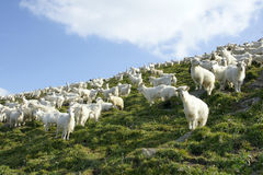 Sheeps Royalty Free Stock Photos