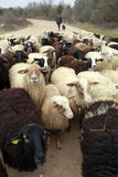 Sheeps Stock Foto