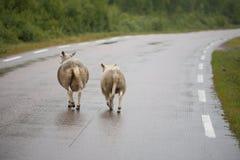 sheeps 2 Стоковые Фотографии RF
