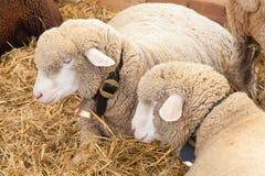 Sheeps Royalty Free Stock Image