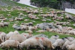 sheeps Стоковые Фотографии RF