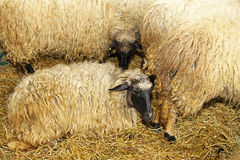 Sheeps. Ewe with long wool laying in pen stock images