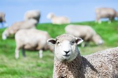 Sheeps Image stock