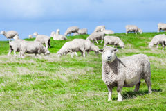 sheeps Fotografia Stock