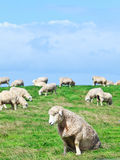 Sheeps Images libres de droits