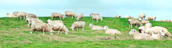 Sheeps Photo stock