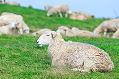 Sheeps Fotografie Stock