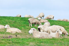 Free Sheeps Stock Photography - 25123722