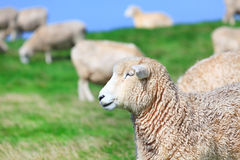 Sheeps Stock Photo