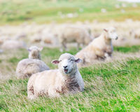sheeps Royaltyfri Fotografi
