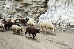 Sheeps Стоковое Фото